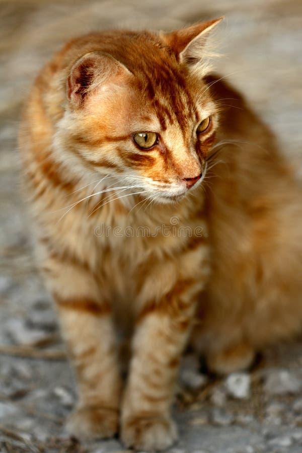 Retrato do gato listrado vermelho feroz no campo imagens de stock