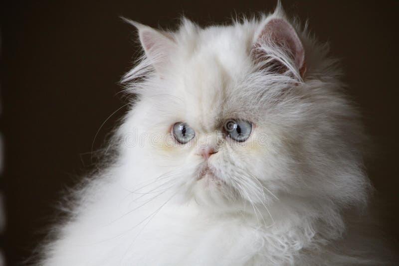 Retrato do gato persa fotos de stock royalty free