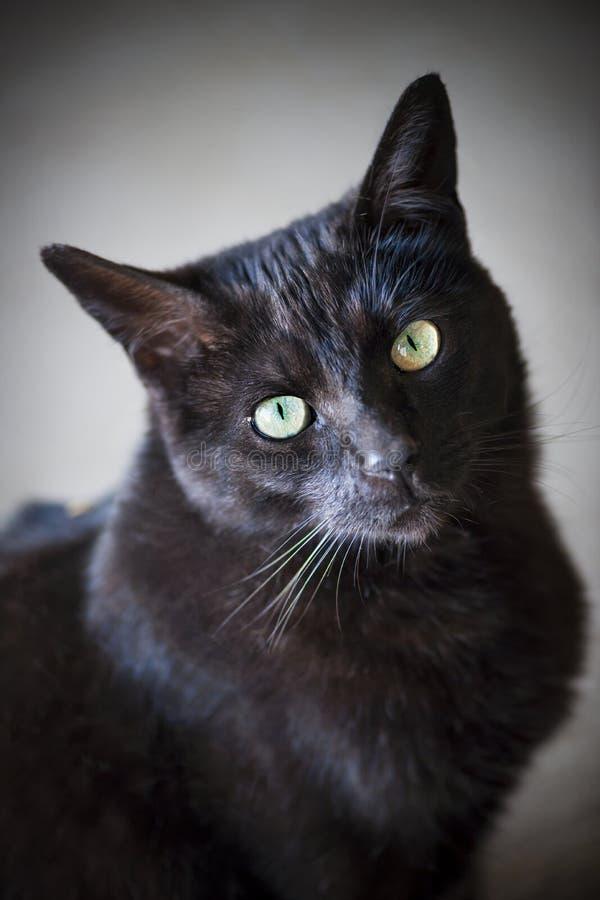 Retrato do gato preto imagem de stock