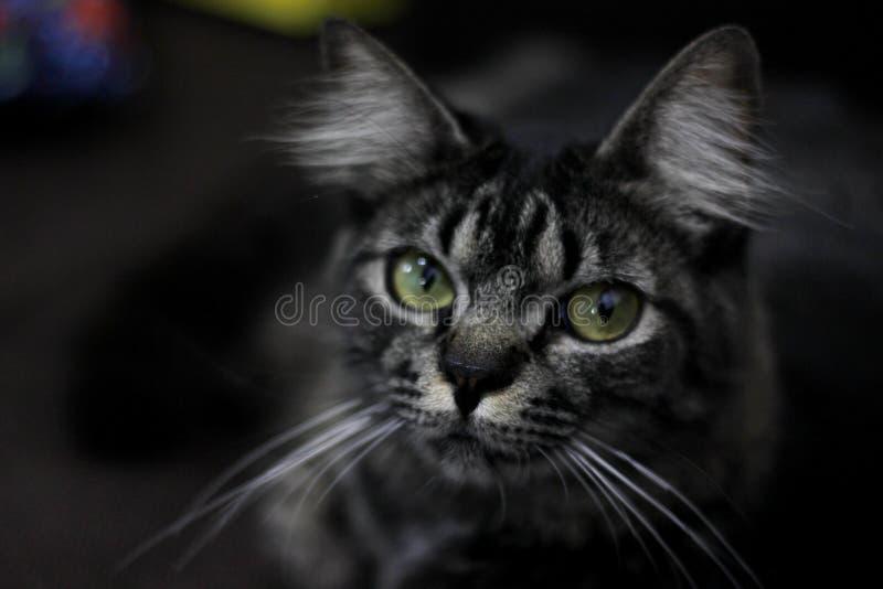 Retrato do gato preto com olhos verdes que olha o imagens de stock
