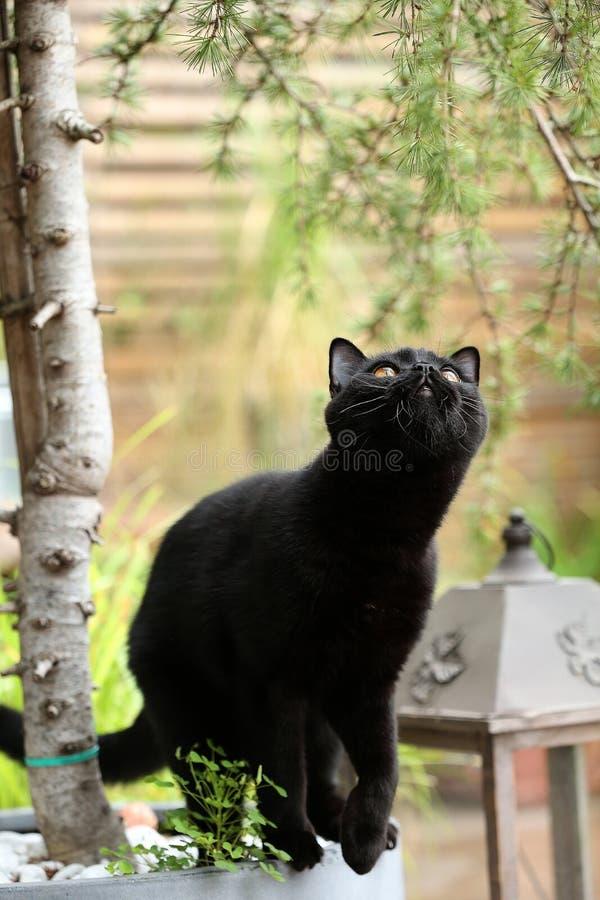 Retrato do gato preto de Ingleses Shorthair entre ramos fotos de stock