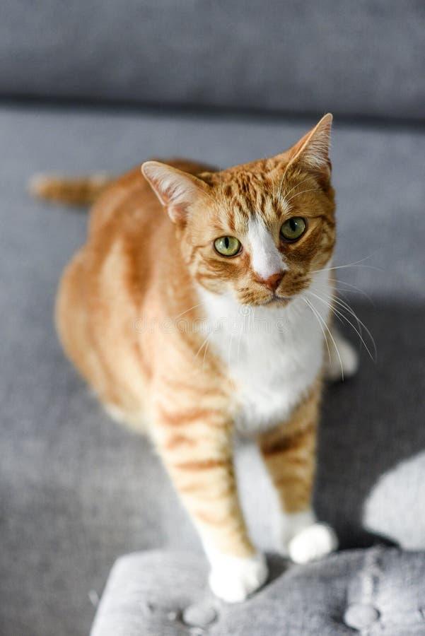 Retrato do gato ruivo com olhos verdes em casa fotografia de stock royalty free