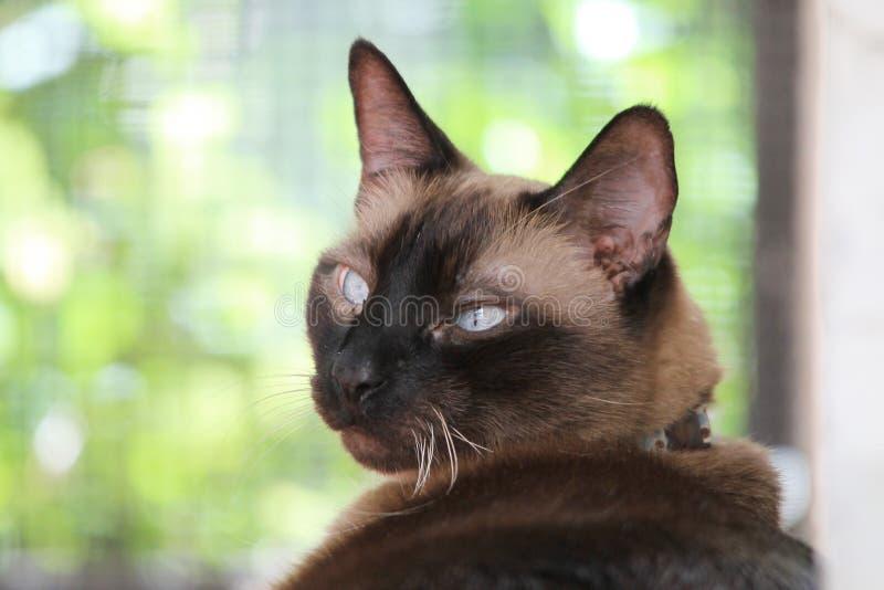 Retrato do gato Siamese fotos de stock