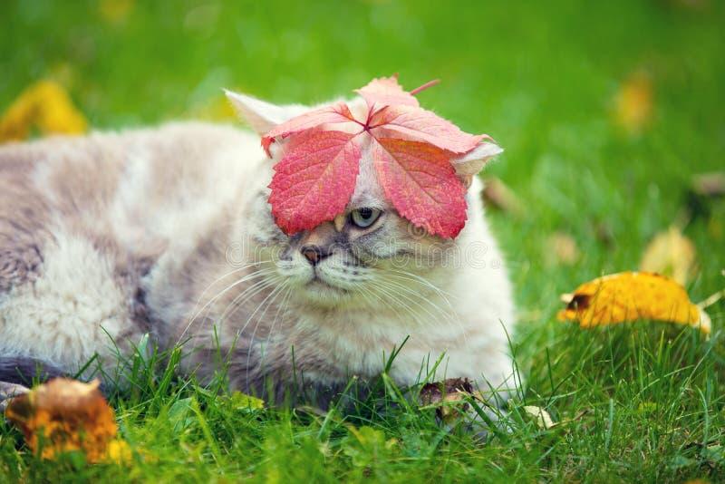 Retrato do gato Siamese com a folha na cabeça imagens de stock royalty free