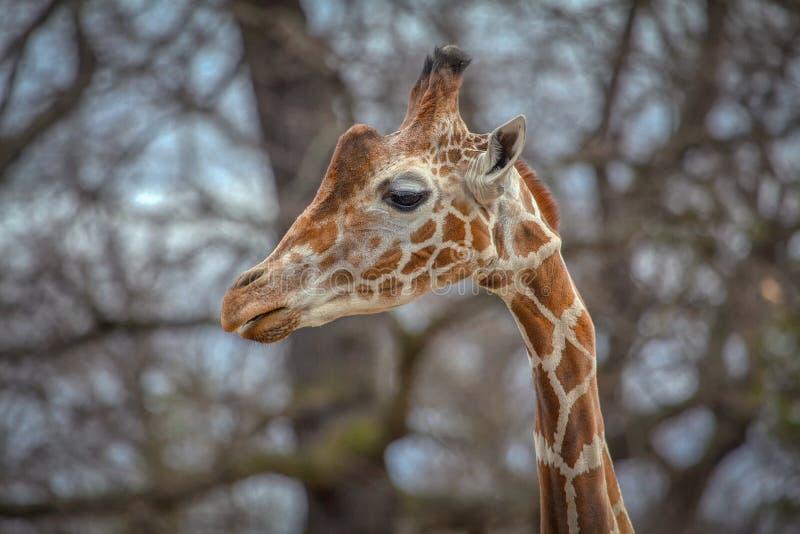 Retrato do girafa imagens de stock royalty free