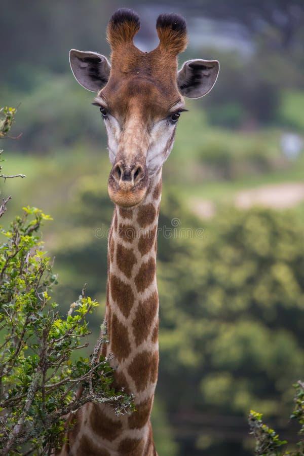 Retrato do girafa em África imagem de stock royalty free