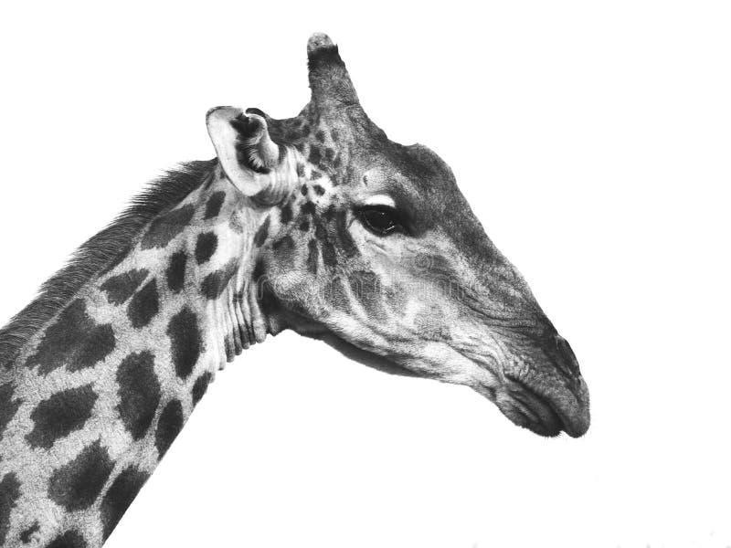 Retrato do girafa em preto e branco imagens de stock