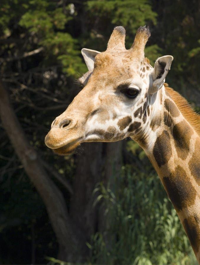 Retrato do Giraffe imagens de stock