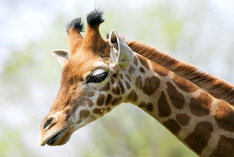 Download Retrato do giraffe foto de stock. Imagem de amarelo, marking - 12803284