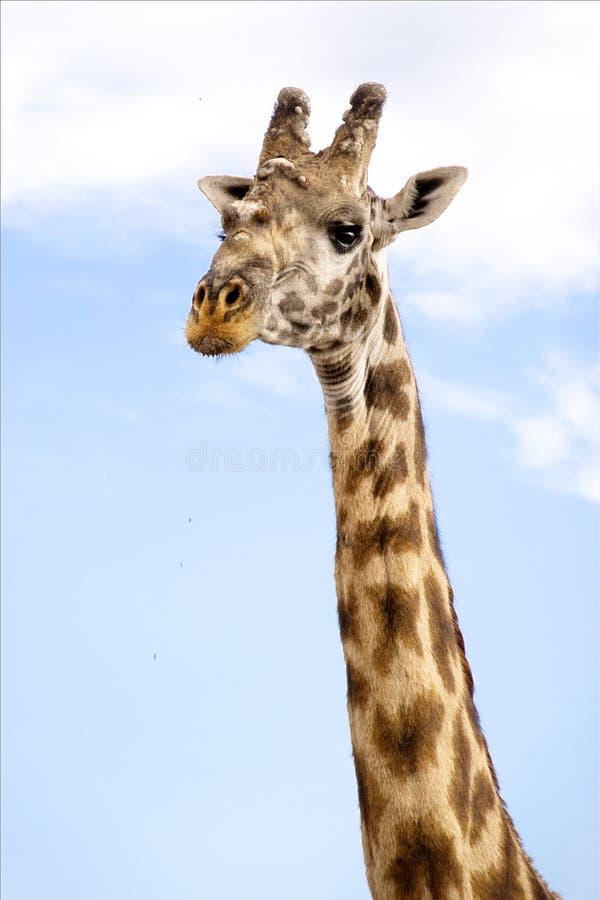 Retrato do Giraffe fotos de stock royalty free