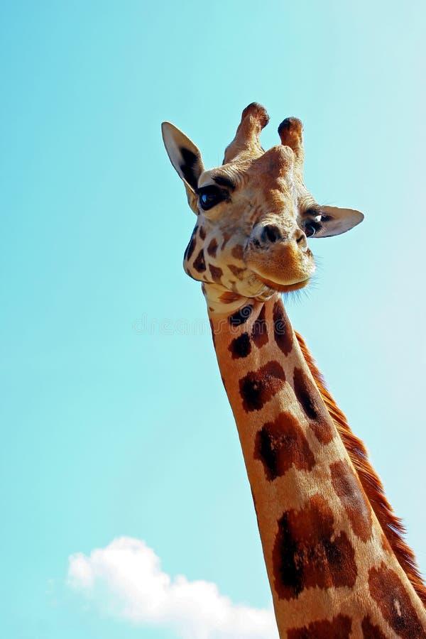 Retrato do Giraffe fotografia de stock royalty free