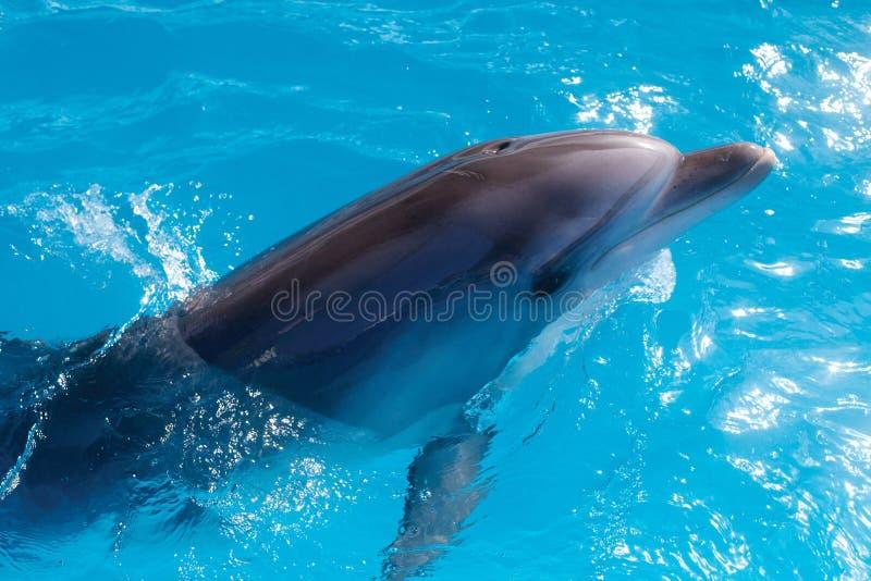 Retrato do golfinho ao olhá-lo ao sorrir fotografia de stock