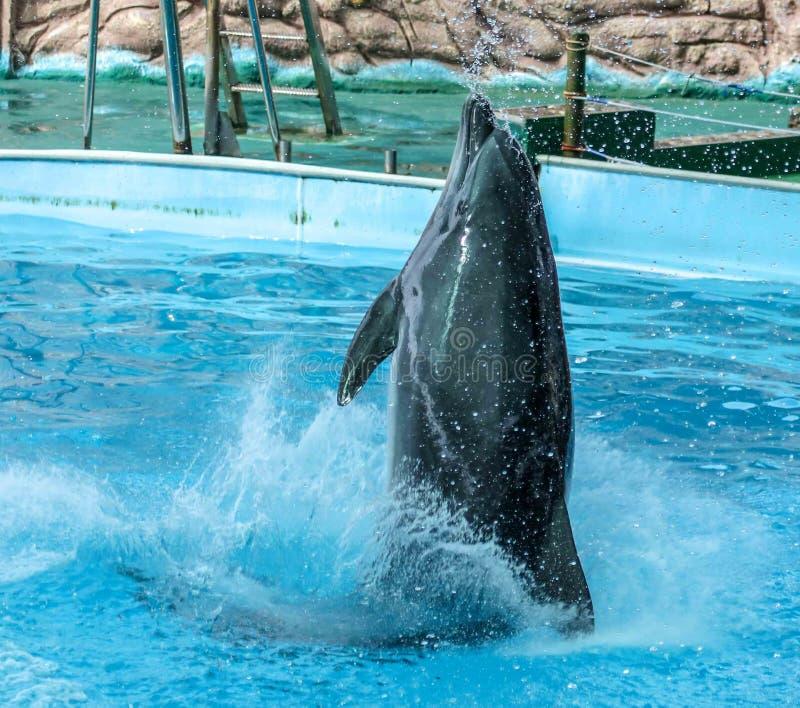 Retrato do golfinho na água imagens de stock royalty free