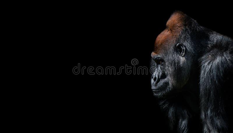 Retrato do gorila africano poderoso do homem alfa no protetor imagem de stock
