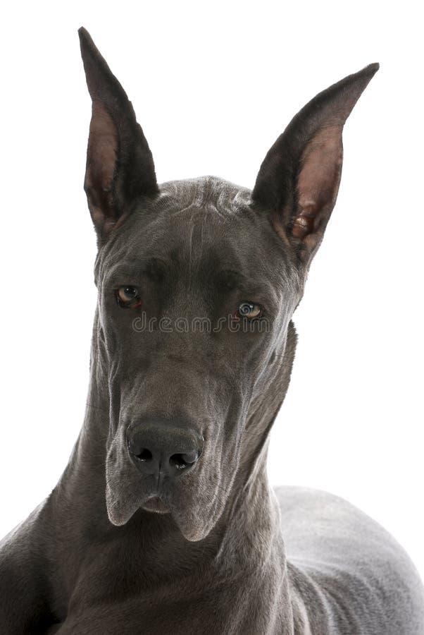 Retrato do grande dinamarquês imagem de stock