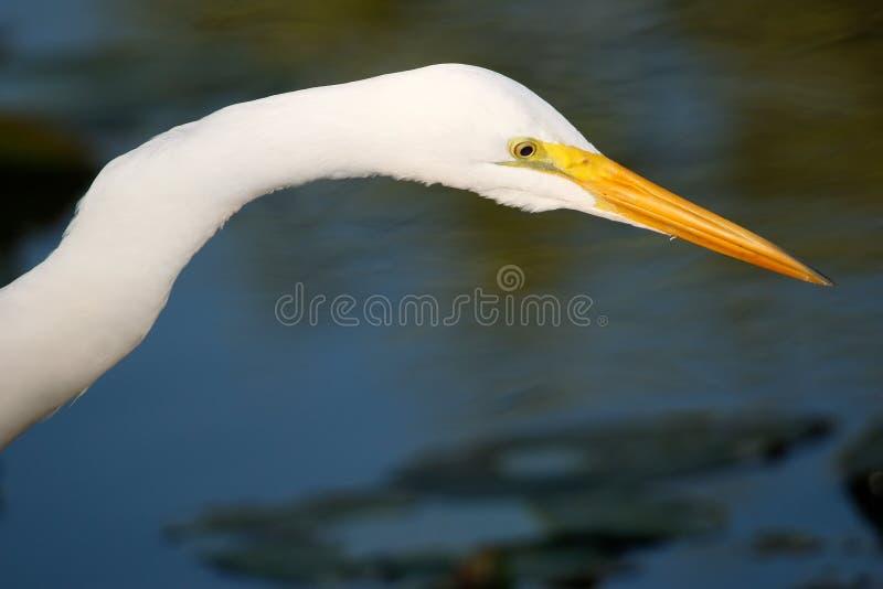 Retrato do grande Egret fotografia de stock royalty free