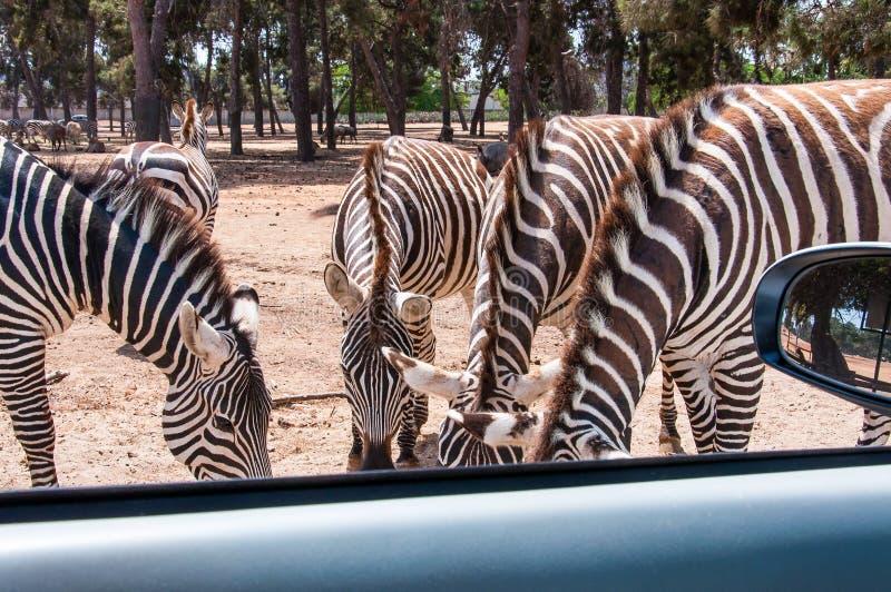 Retrato do grupo de comer das zebras à terra imagem de stock