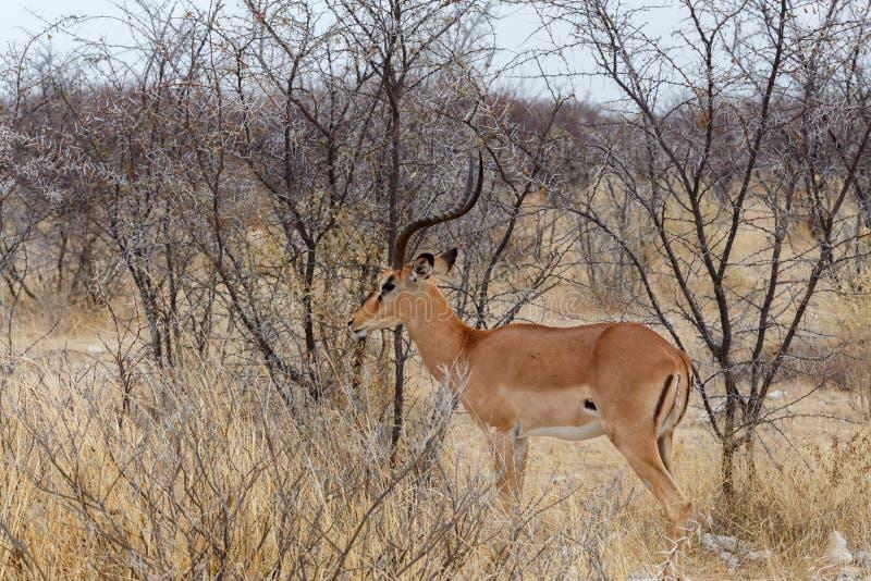 Retrato do homem do antílope da impala imagem de stock