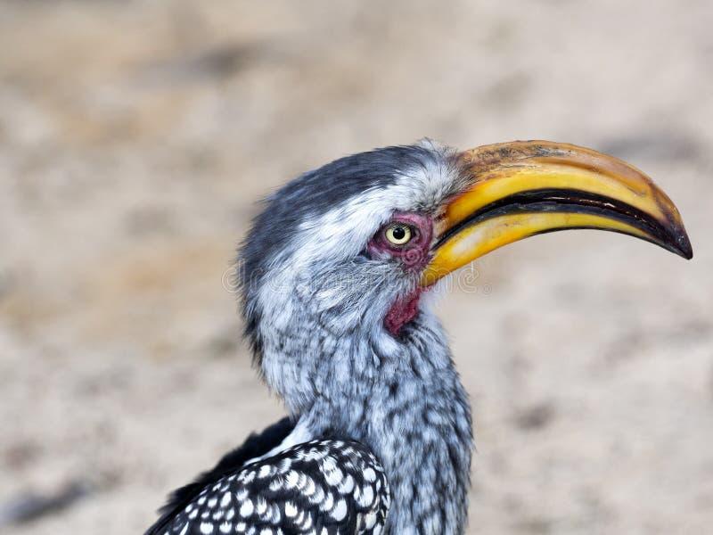 Retrato do hornbill Amarelo-faturado, flavirostris de Tockus, Botswana imagens de stock