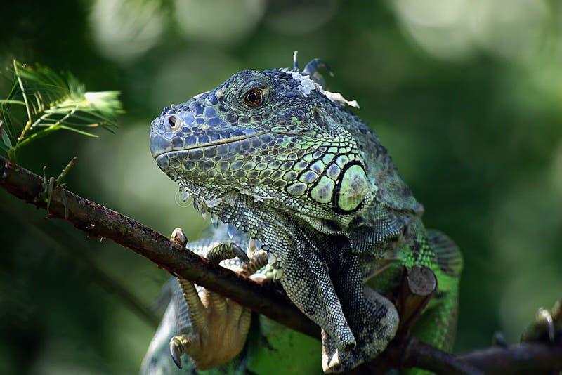 Retrato do Iguania imagens de stock