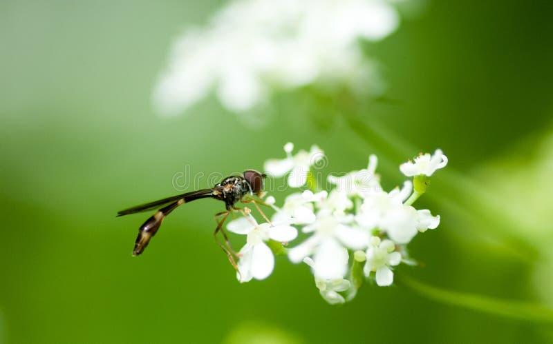 Retrato do inseto hoverfly fotos de stock