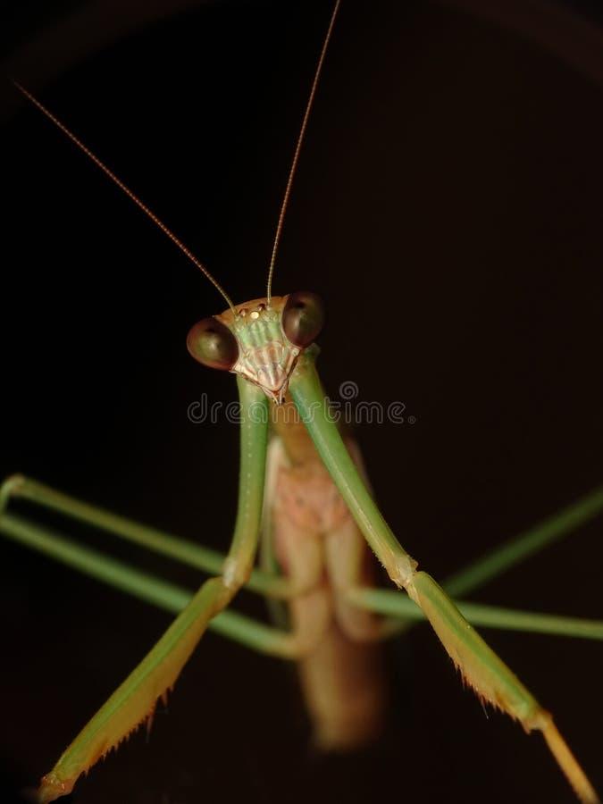 Retrato do inseto do louva-a-deus, homem de Tenodera fotografia de stock royalty free