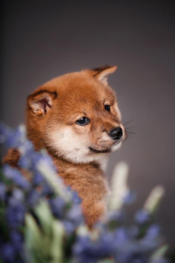 Retrato do inu pequeno vermelho do siba do cachorrinho com flores fotografia de stock royalty free