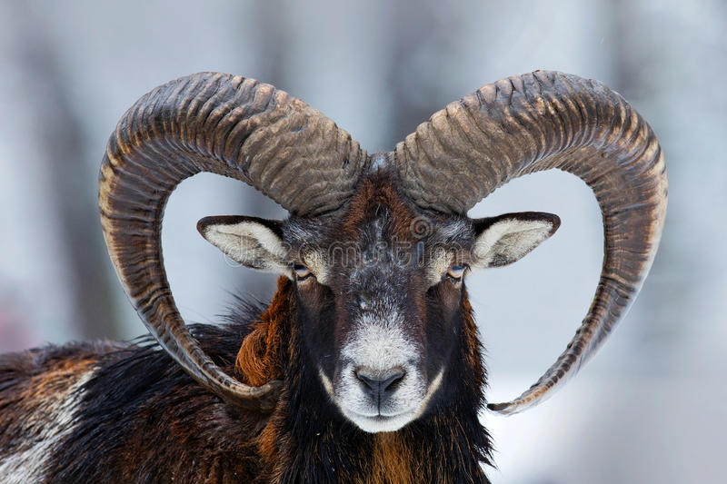 Retrato do inverno do animal grande da floresta Mouflon, orientalis do Ovis, animal horned da floresta no habitat da natureza Ret imagem de stock