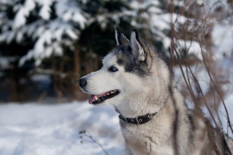 Retrato do inverno do cão de puxar trenós Siberian fotos de stock royalty free