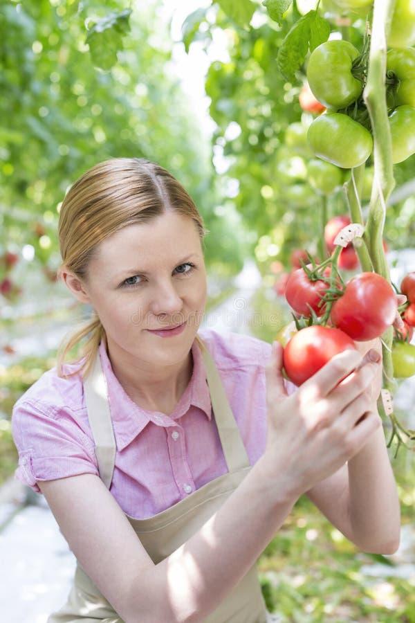 Retrato do jardineiro de sorriso que guarda tomates orgânicos na estufa fotos de stock royalty free
