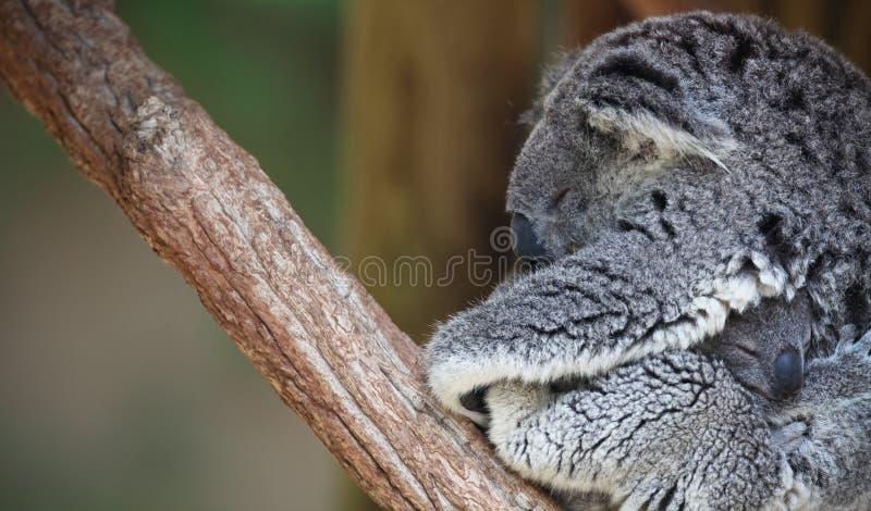 Retrato do Koala da matriz e do bebê fotografia de stock royalty free