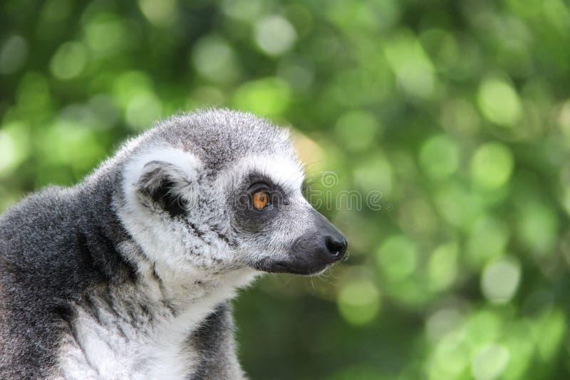 Retrato do lêmure Ringtailed fotos de stock royalty free