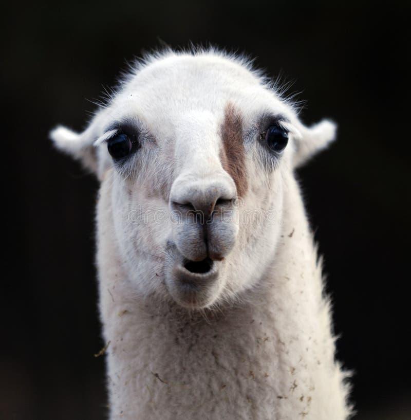 Retrato do lama fotos de stock royalty free