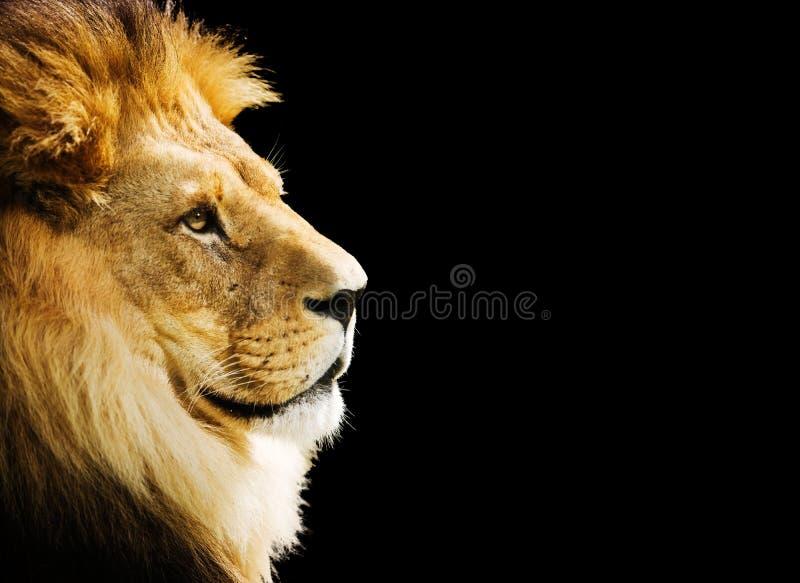 Retrato do leão imagem de stock royalty free