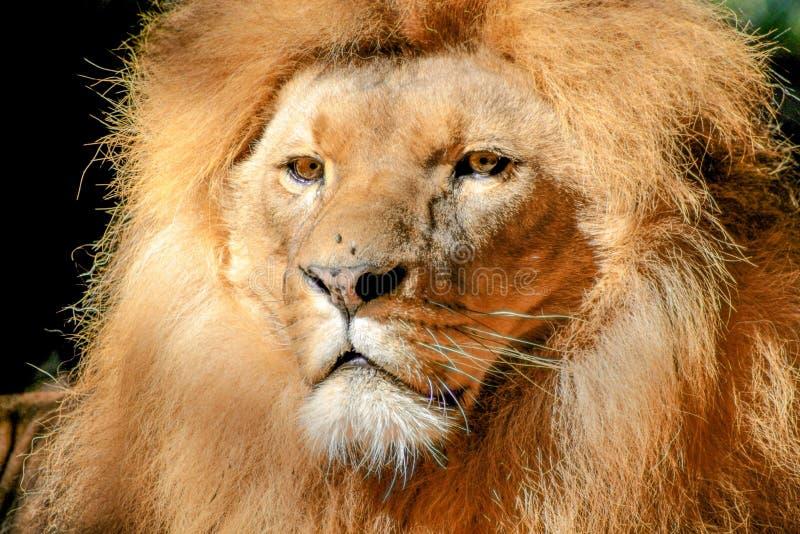 Retrato do leão africano masculino bonito enorme imagem de stock
