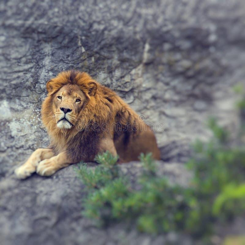 Retrato do leão africano masculino bonito enorme Foco seletivo imagem de stock royalty free