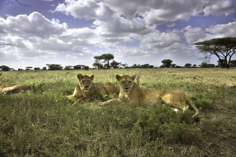 Retrato do leão africano selvagem imagem de stock