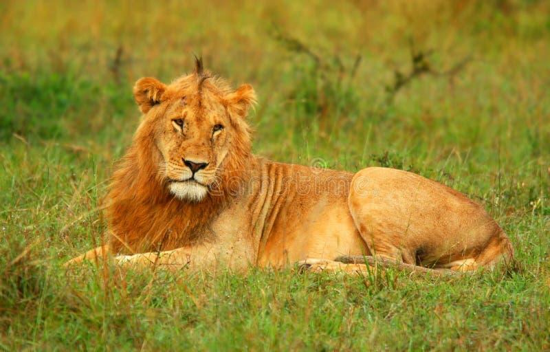 Retrato do leão africano selvagem novo fotos de stock