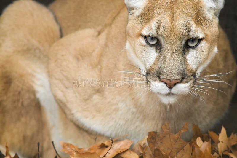 Retrato do leão de montanha (concolor do puma) fotos de stock