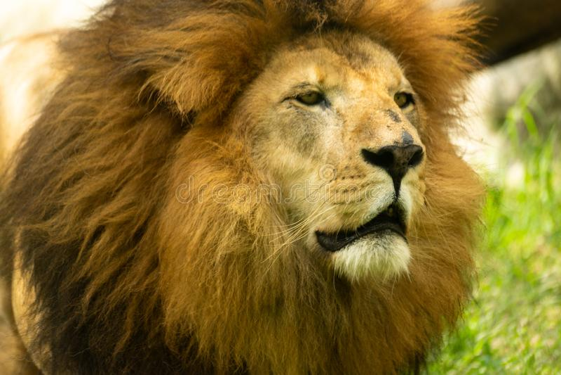Retrato do leão maduro selvagem imagens de stock royalty free