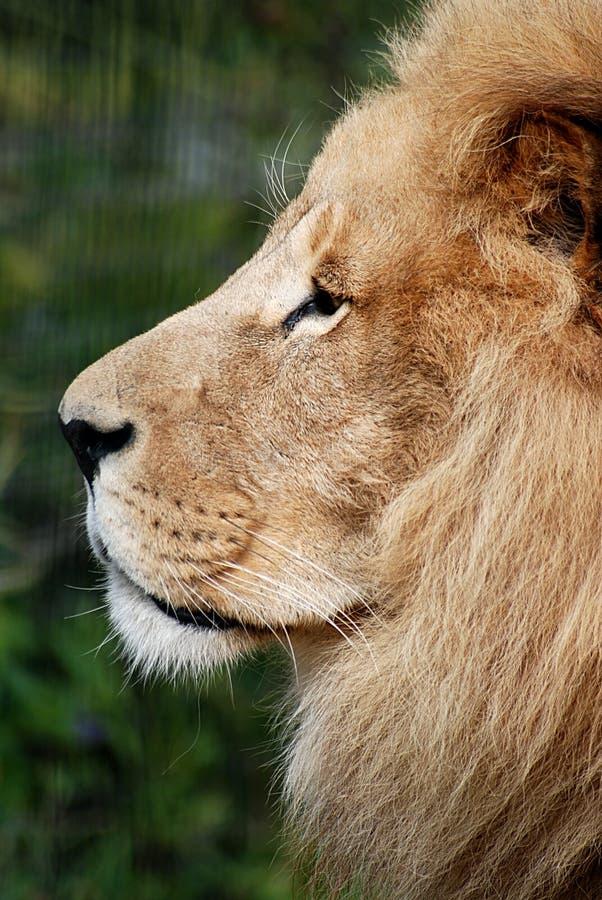 Retrato do leão no perfil imagem de stock royalty free