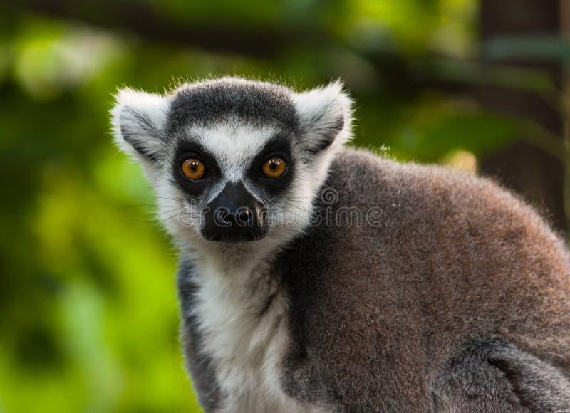 Retrato do Lemur fotografia de stock