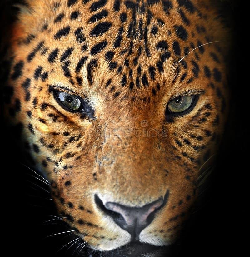 Retrato do leopardat imagens de stock royalty free