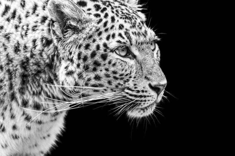 Retrato do leopardo de Amur em preto e branco imagem de stock