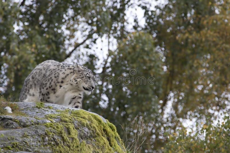 Retrato do leopardo de neve imagem de stock