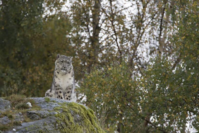 Retrato do leopardo de neve foto de stock royalty free