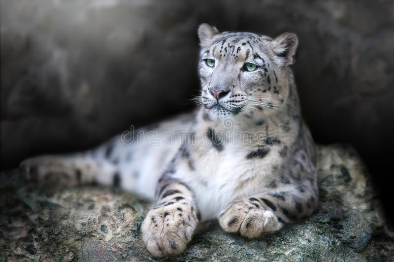 Retrato do leopardo de neve fotos de stock royalty free
