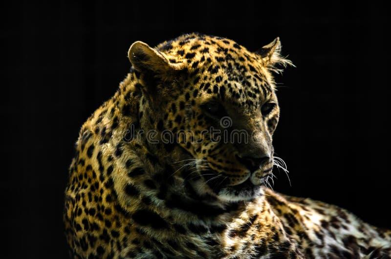 Retrato do leopardo no fundo preto fotos de stock
