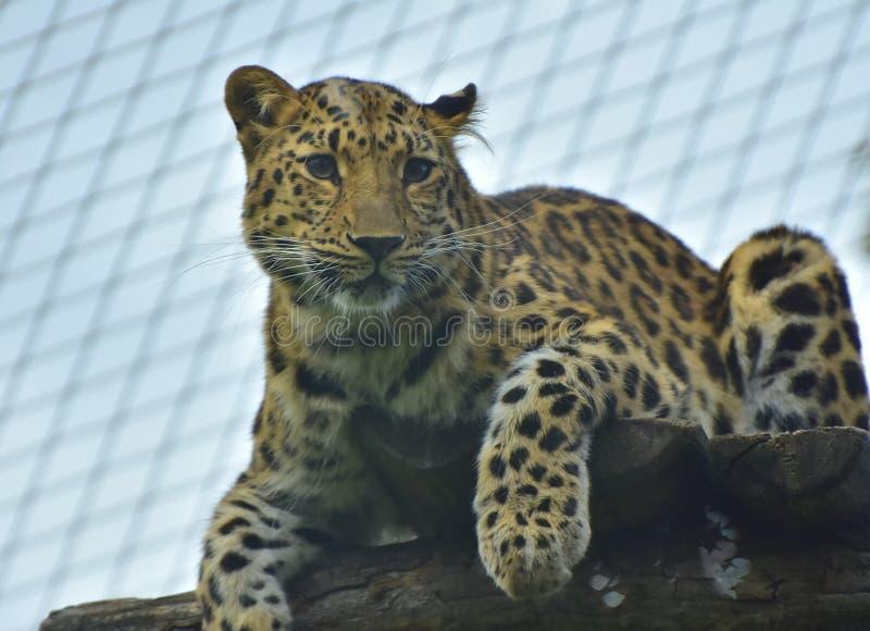 Retrato do leopardo no jardim zoológico de Viena fotos de stock royalty free