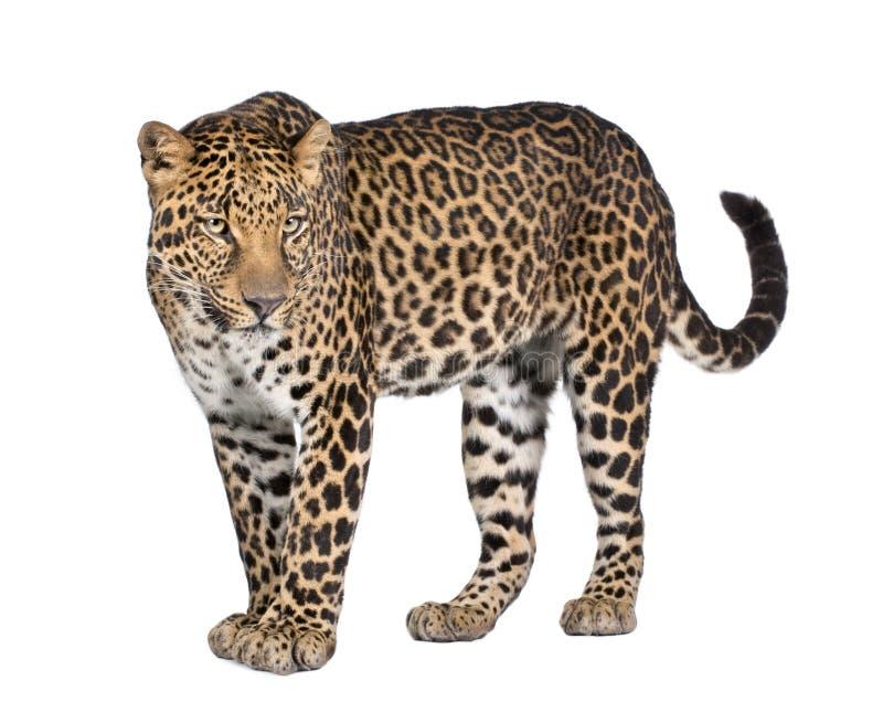 Retrato do leopardo, pardus do Panthera, estando imagens de stock royalty free